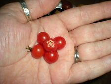 World's Smallest Tomato Spoon Currant Tomato! 20 Seeds! COMB S/H! SEE OUR STORE!