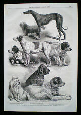 DOG CLUMBER SPANIEL POMERANIAN SKYE TERRIER GREYHOUND HARRISON WEIR  PRINT 1863