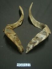 large goat horn pair hill country outdoors rustic HG0127