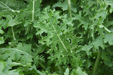 KALE - BORECOLE - HEIRLOOM - WHITE RUSSIAN - 1600 FINEST SEEDS