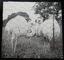 Glass Magic lantern Slide WHIPSNADE ZOO BIRDS 1930'S BEDFORDSHIRE DUNSTABLE