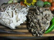 Maitake Mushroom Plug Spawn 50 Plugs ~ Hen of the Woods ~ Mycelium Log Grow Kit