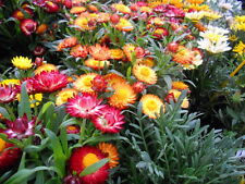 0.5g (approx. 600) strawflower seeds TOM THUMB long lasting color and shape