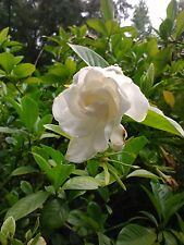 'CHUCK HAYES' GARDENIA,Intense Fragrance, evergreen, cold hardy-1 quart size