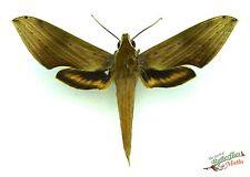 papillon-faucon Xylophanes libye ENSEMBLE x1 sphinx papillon de nuit Français
