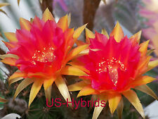 """Echinopsis Hybride Kindel """" GS202 """" rooted"""