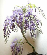 Japanese purple flowering Wisteria for unique shohin mame bonsai tree multi list