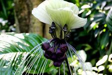 Para interiores: se ve como una orquídea: la preciosa fledermausblume