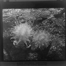 Magic Lantern Slide Ocean Sea Life Marine Biology Science Zoology Species