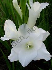 (10) Large Flowering Gladiolus Bulbs White Prosperity Pure Gladioli