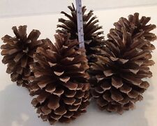 """*5 PINE CONES Natural Large 5"""" - 5 3/4 """" High ~ 3 1/2 """"- 3 3/4"""" wide ~ Crafts"""