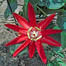Passiflora coccinea•8 Samen/seeds•rote Passionsblume•Red Passionflower