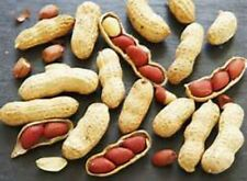 JUMBO VIRGINIA PEANUTS -GROW YOUR OWN PEANUTS GREAT FOR KIDS! ! EASY! COMB. S/H!