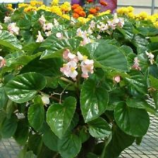 Begonia Seeds Higro Pink 50 Pelleted Seeds flower seeds