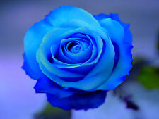 Fresh,40pcs RARE Blue Roses Flower Seeds Garden Plant*UK SELLER*