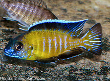 (1) Usisya Flavescent Peacock Auloncara 1.5 in African Cichlid Live fish