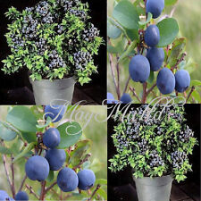 1Pack New Sweet Blueberry Seeds Shortbush Fruit Vegetable Seeds Northblue