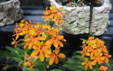 BIN-Epidendrum Sunlight Valley 'Kagaribi' Patio Orchid Plant- Our Exclusive!