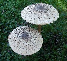 Bio Riesenschirmling Parasol, Pilzbrut Körnerbrut für eigene Pilzzucht im Garten