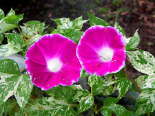 Morning Glory Seeds 50 Cameo Elegance Ipomoea Seeds Varigated