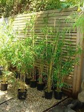 Bambusa Multiplex,Alphonse Kar Bamboo plants 200mm pots 1.5mt high