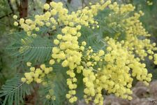 SILVER WATTLE (Acacia dealbata) 30 seeds
