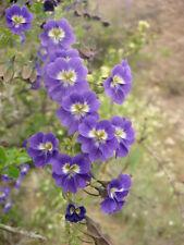 RARE 3 graines de CAPUCINE BLEUE (Tropaeolum Azureum)H158 BLUE NASTURTIUM SEEDS