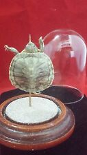 SALE*Taxidermy Baby Mississippi Map Turtle glass dome display//rat-mouse-bat-