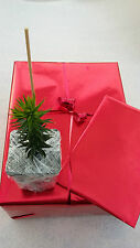 BIRTHDAY GIFT WRAPPED CHARITY ARAUCARIA Monkey Puzzle Tree - strong plant