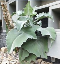 Rare Easy2grow Kalanchoe Beharensis Drake,Elephant's ear,felt bush,greenhouse