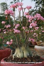 10 SEEDS ADENIUM ARABICUM YAK SAUDI FRESH AND VIABLE SEEDS SPECIAL OFFER!!