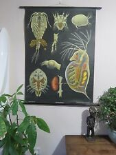 VINTAGE PULL ROLL DOWN ZOOLOGICAL SCHOOL CHART OF DAPHNIA & CYCLOPS JUNG KOCH