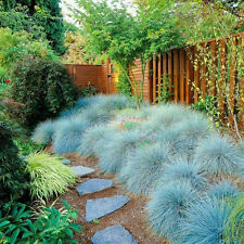 400PCS Blue Fescue Grass Seeds Glauca Festuca  Seeds Grass Perennial Ornamental