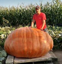 2 ATLANTIC GIANT PUMPKIN SEEDS FROM A 1583 lb PUMPKIN 2015