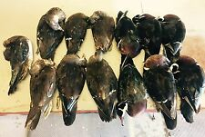 6 Wood Duck Pairs Mountable Taxidermy Skin Farm Raised - permits in posession -