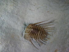 GEOLOGICAL ENTERPRISES Devonian Fossil Trilobite Kettneraspis williamsi