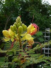 """Paradiesvogelbusch """"Caesalpinia gilliesii"""" mit exotisch großer Blütenpracht."""