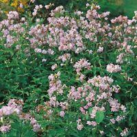 Herb Seeds - Soapwort- 250 Seeds