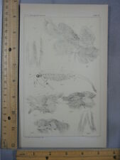 Rare Antique Orig VTG Branchinecta Lindahli Fairy Shrimp Illustration Art Print