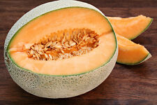 50 HALE'S BEST CANTALOUPE SEEDS,HEIRLOOM, ORGANIC, COMB S/H+ FREE GIFT!
