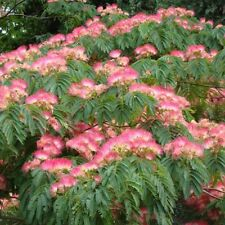 25 Mimosa / Persian Silk Tree Albizia Julibrissin Flower Seeds