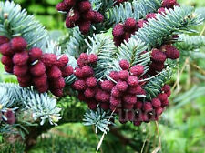 Spanish Fir (Abies pinsapo) - 20 Seeds/Bonsai or Ornamental