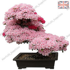 Rare Cherry Blossom Bonsai, Japonais Sakura Tree - 10 graines viables-uk vendeur