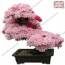 RARE Cherry Blossom BONSAI GIAPPONESE SAKURA TREE - 10 semi vitali-UK Venditore