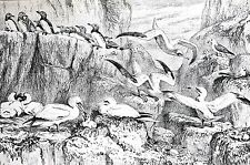 Birds of Bass Rock 1888 NATURAL HISTORY MUSEUM SOUTH KENSINGTON Matted Print