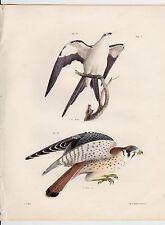 1844 SWALLOW-TAIL / SPARROW HAWK VINTAGE PRINT DE KAY BIRDS LITHOGRAPH PL 7