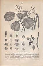 Lithographie 1890: avoisinantes. schwarzerle (avoisinantes glutinosa)