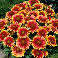 Blanket Flower- Gaillerdia- 100 Seeds - 50 % off sale