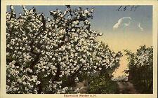 Werder a. d. Havel Brandenburg 1928 Baumblüte Blüten Baum Bäume Botanik Pflanzen