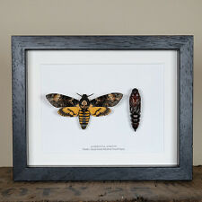 Deaths Head Hawk Moth and Pupae in Box Frame (Acherontia atropos)